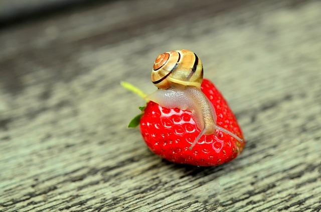 Snail on a strawberry