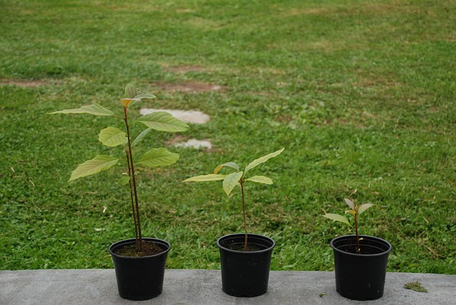 Avocado tree growing process