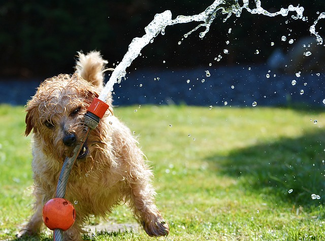 Dog watering a lawn